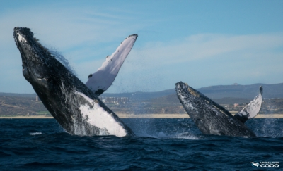 Los Cabos is a great place to see Humpback whales performing their acrobatic stunts