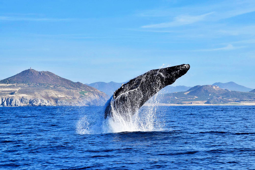 Humpback Whale Jumping in Cabo Mexico