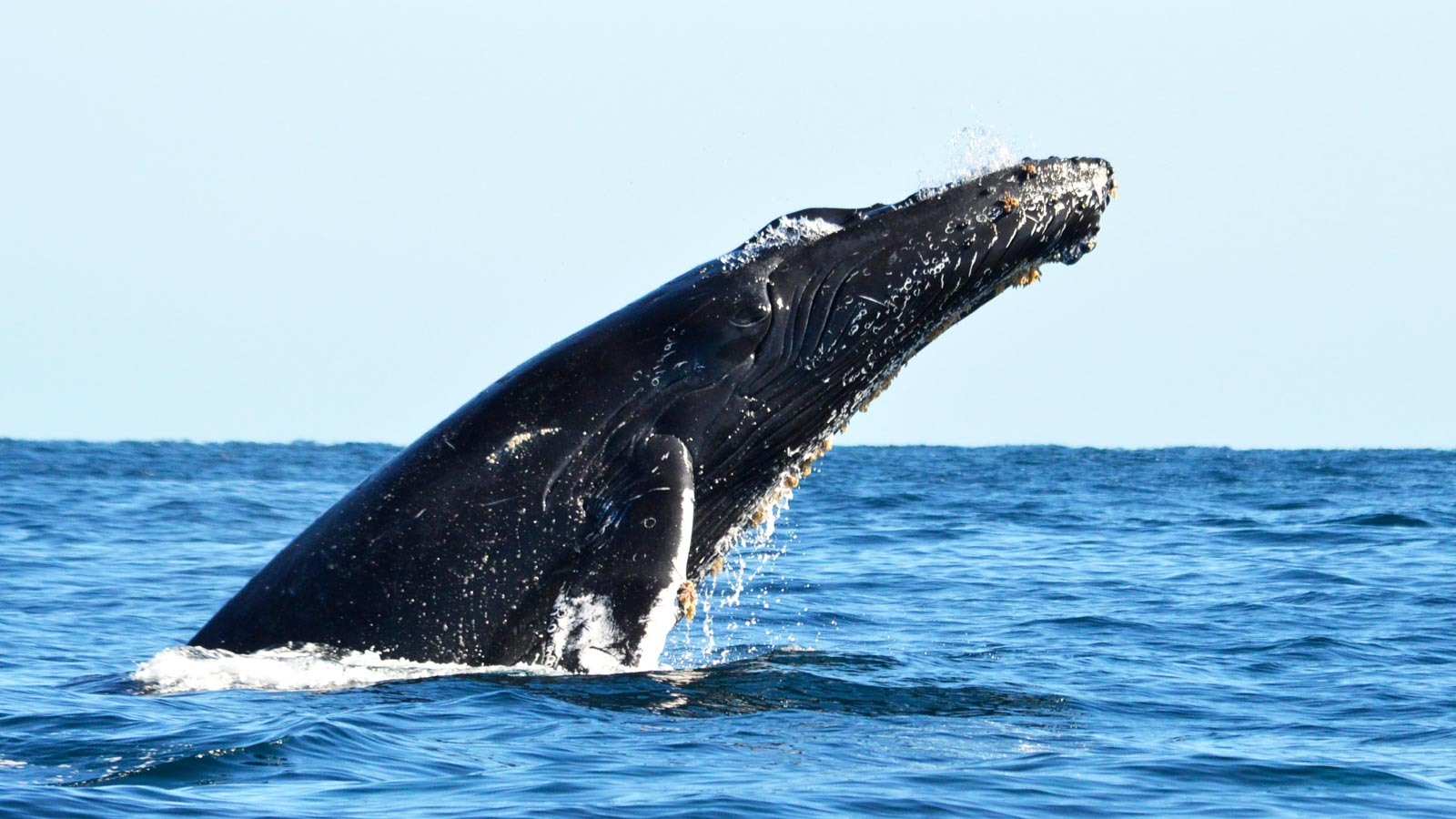 Los Cabos Whale Watching Season