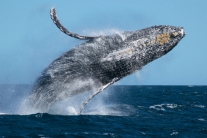 Best place to see acrobatic Humpback whales