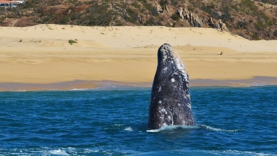 February Whale Watching Cabo