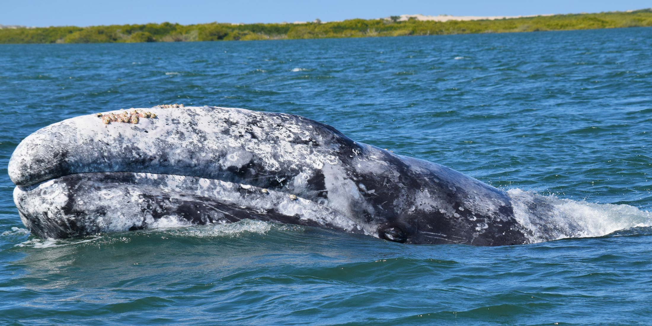 Gray Whale Magdalena Bay
