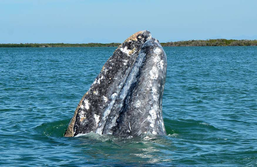 Gray Whale Spy Hopping Mexico