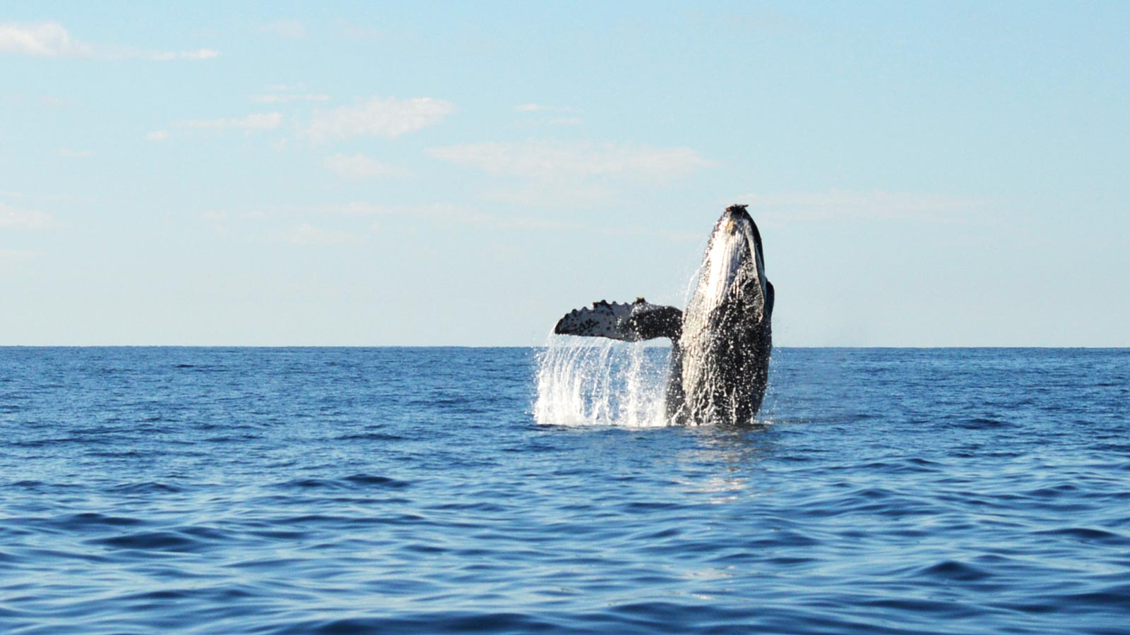 December Whale Watching Los Cabos