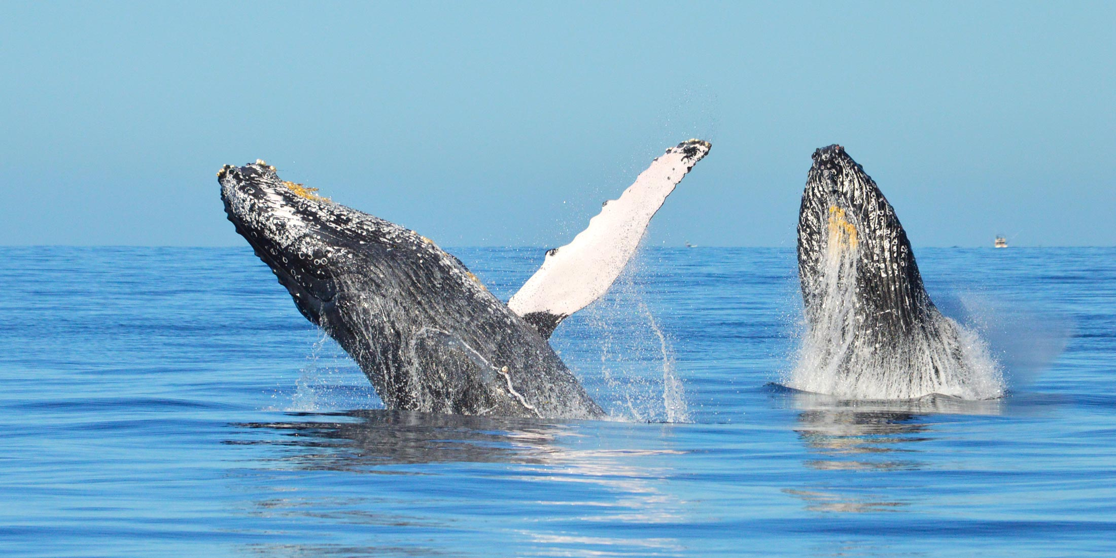 whale watching cabo best time - whale watch cabo tours