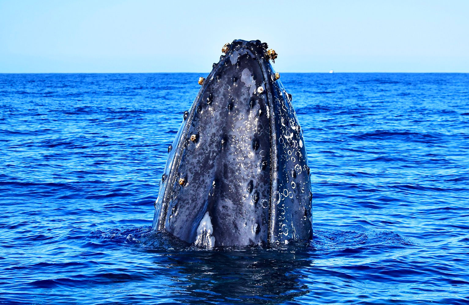 Humpback Whale Head Whale Watching Cabo