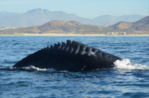 Humpback whale with propeller injuries