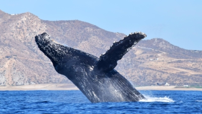 Cabo San Lucas Whale Watching Season