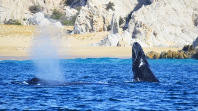 Humpback Whale Birth Baby Los Cabos