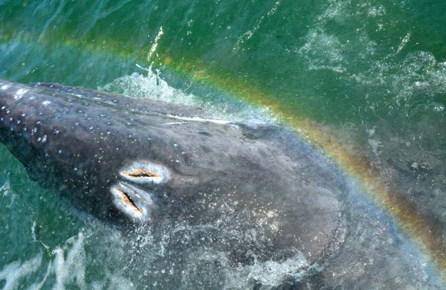 Rainbow exhale Gray Whale Tour