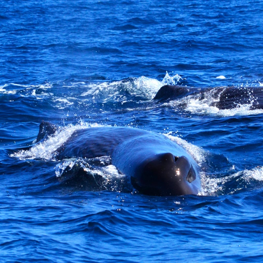Sperm Whale Los Cabos