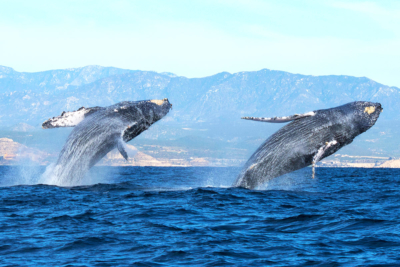Humpback breaching in front of Cabo San Lucas
