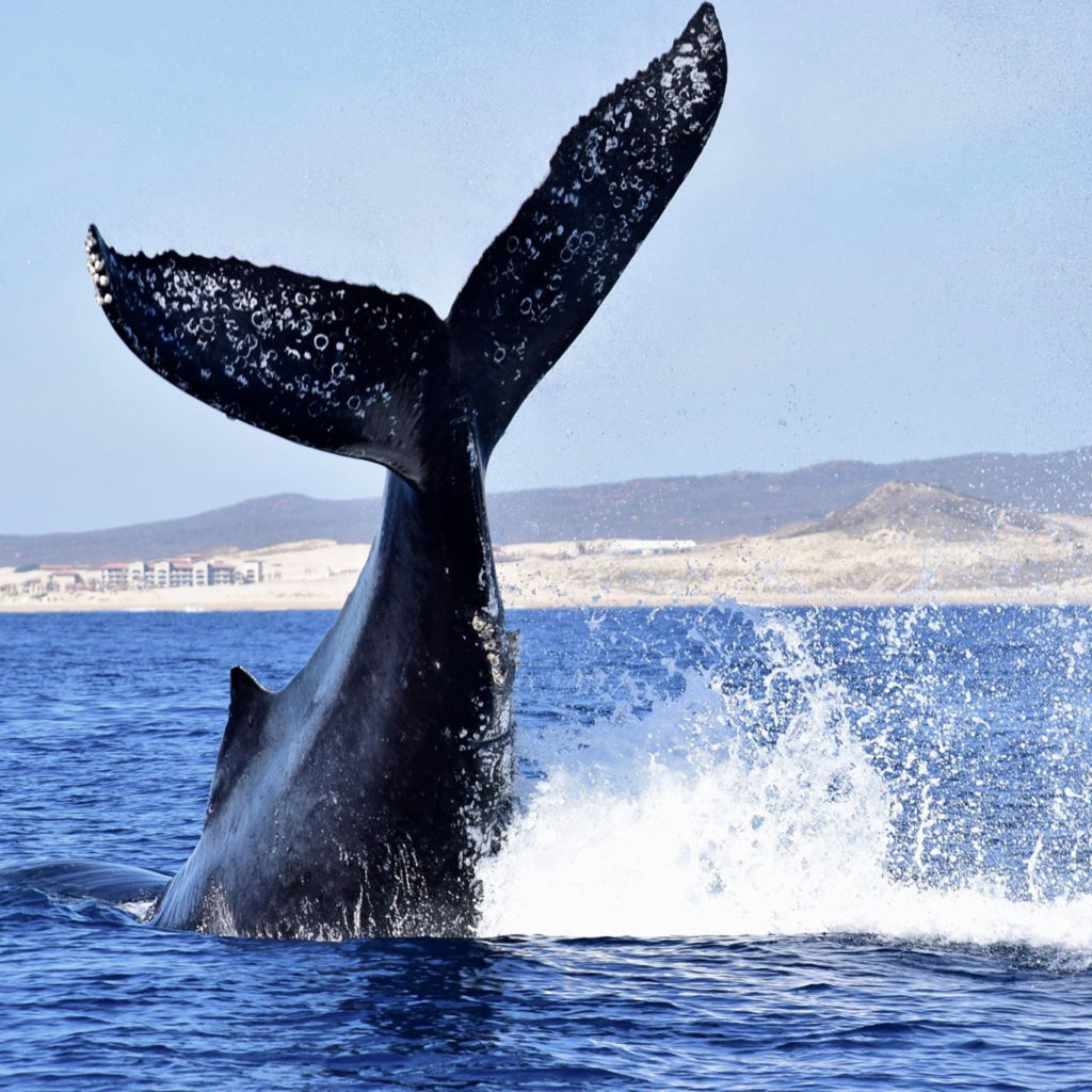 Cabo Style Small Minimalist Bathroom Makeover: Cabo San Lucas Whale Watching Tours
