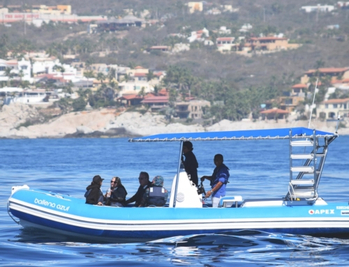 Cabo Whale Watching Season is Coming!